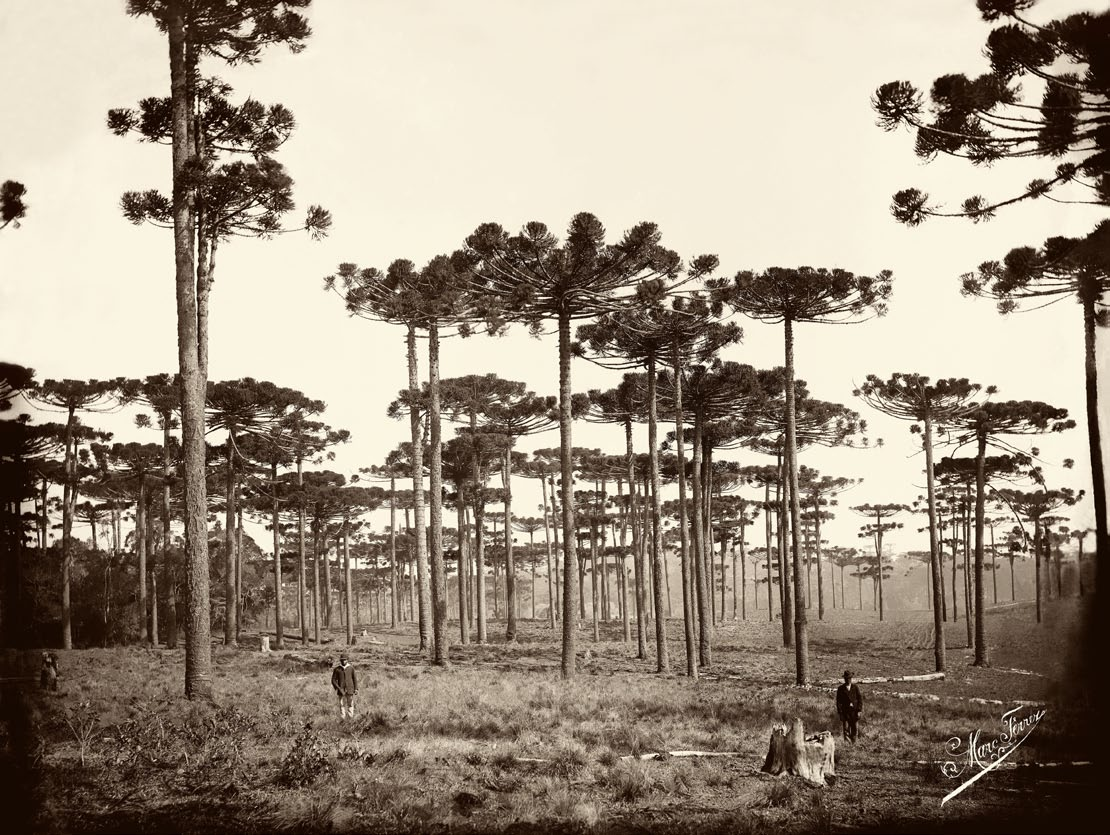 Marc Ferrez (Brazilian, 1843–1923), Araucárias, Paraná, ca. 1884 (printed later). Gelatin silver print, 29 x 39 cm. Gilberto Ferrez Collection, Instituto Moreira Salles Archive, Brazil