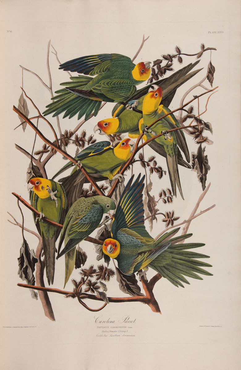 "John James Audubon, American, 1785–1851, ""Carolina Parakeet,"" in The Birds of America, plate 26, 1827–38. [Department of Rare Books and Special Collections, Firestone Library, Princeton University]"