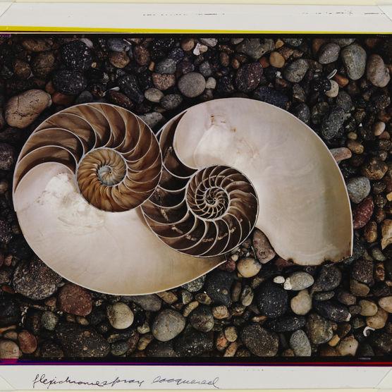 Edward Weston. Shells,