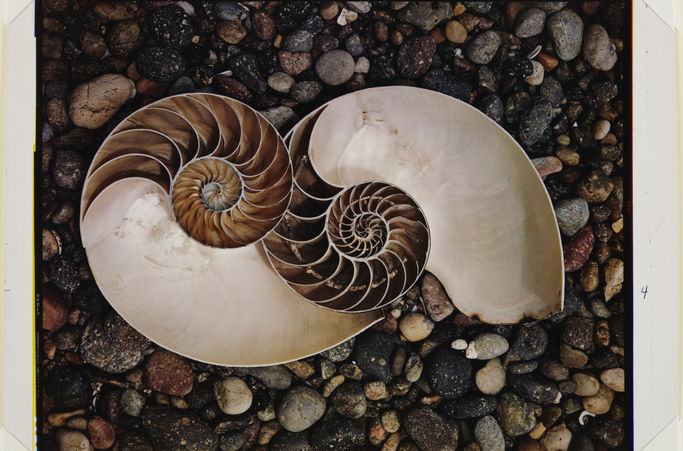 Edward Weston. Shells,